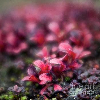 Bearberry leaves by Priska Wettstein