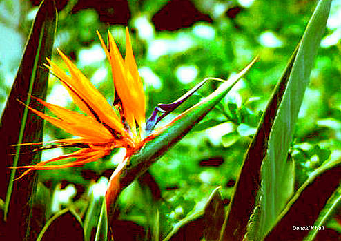 F21 Bird of Paradise Flower by Donald k Hall