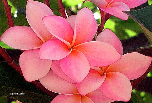F23 Plumeria Frangipani flowers by Donald k Hall