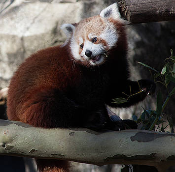 Face of a Red Panda by Ruth Jolly