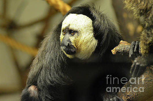 Face of a Saki Monkey by DejaVu Designs