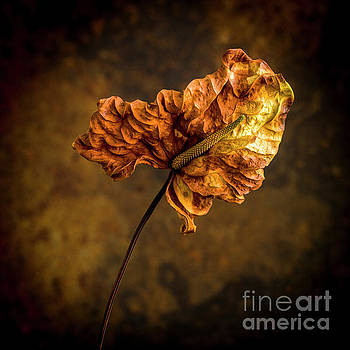 Faded arum by Bernard Jaubert