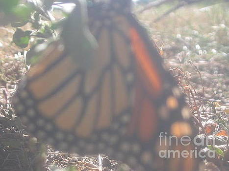 Faded Monarch  by Iris Newman