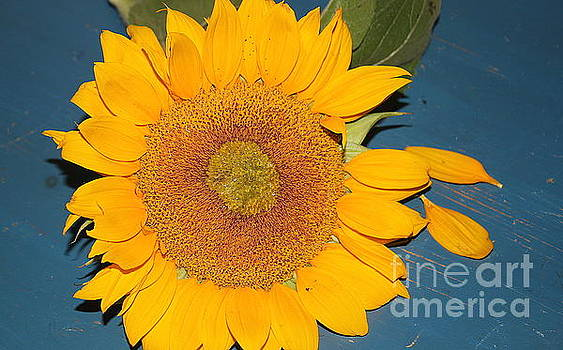 Fading Beauty - Sunflower by Dora Sofia Caputo Photographic Design and Fine Art