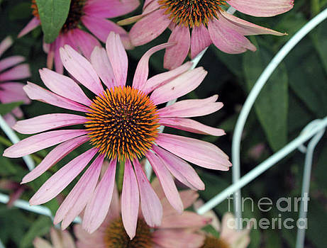 Fading to Pink Cone Plant by Dan De Ment