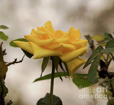 Fading Yellow Rose 1 by Diane Friend