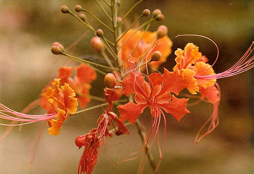 Faerie Flowers by Dina Holland