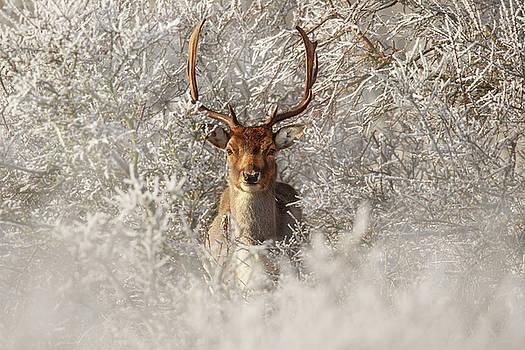 Fairytale Fallow Deer in the Frost by Roeselien Raimond