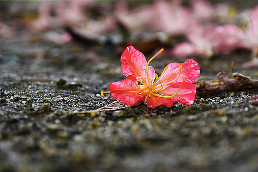 Falen Beauty by Dumindu Shanaka