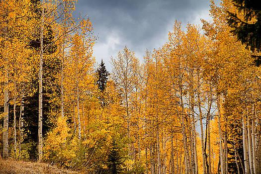 Fall Aspen Color by Juli Ellen