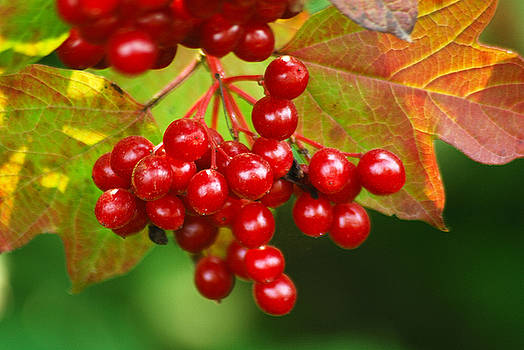 Michael Peychich - Fall Berries 2