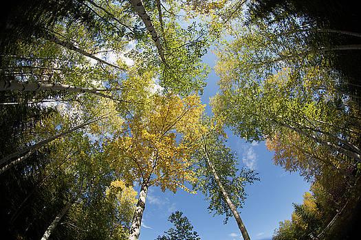 Dee Carpenter - Fall Birch Trees