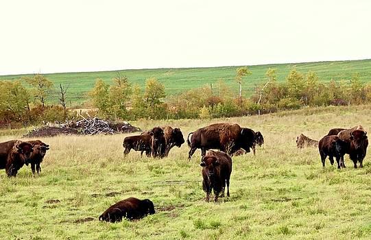 Fall Buffalo  by Brian Sereda