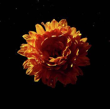 Fall Chrysanthemum  by Larry Jost