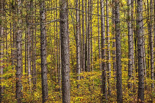 Randall Nyhof - Fall Colors among the Pine Trees