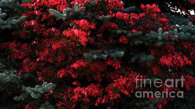 Burning Bush by Greg Patzer