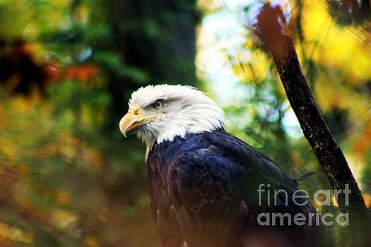 Nick Gustafson - Fall Eagle