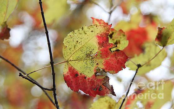 Fall Foliage by Adrienne Franklin
