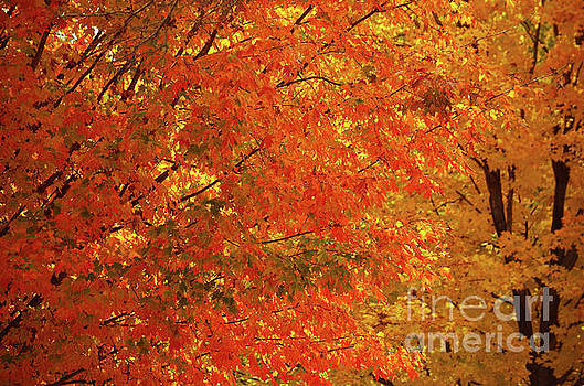 Fall Foliage by Deb Halloran