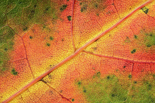 Fall Leaf Close-up by David Taylor
