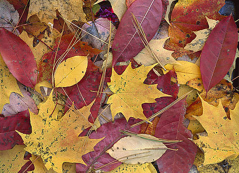 Tim Fitzharris - Fall Leaves on Forest Floor