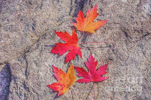 Fall Leaves on Rock by Randy Steele