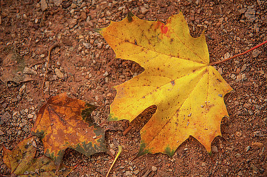 Jenny Rainbow - Fall Maple Leaves