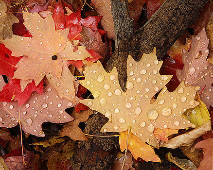 Fall Maples Leaves by David Kocherhans