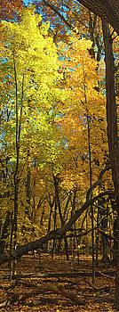 Steven Ralser - Fall maples- UW Arboretum  - Madison - Wisconsin