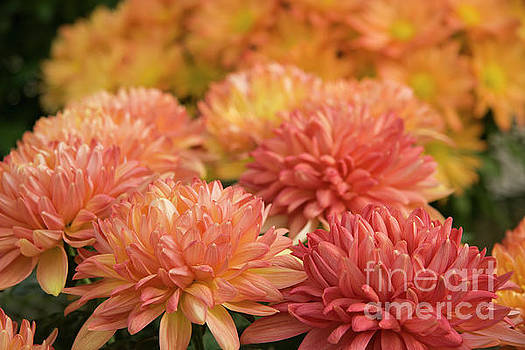 Fall Mums by Jill Lang