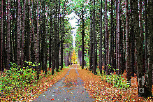 Fall Pines Road by Laura Kinker