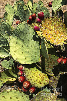 Fall Prickly Pears  by Robert Anschutz