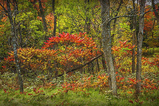 Randall Nyhof - Fall Sumac Trees with Red Leaves in a Michigan Forest during Autumn