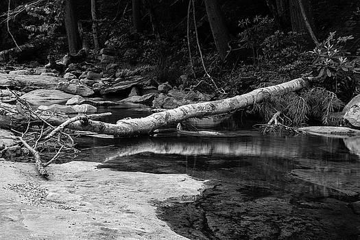 Fallen Birch by Jeff Severson