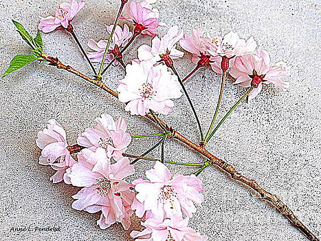 Fallen Cherry Blossom by Anne Pendred