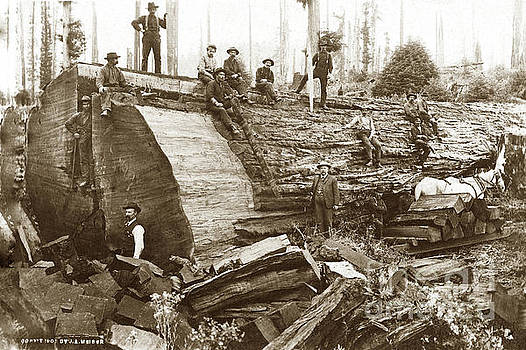 California Views Mr Pat Hathaway Archives -  Fallen Giant Redwood tree Loggers with felled redwood circa 1900