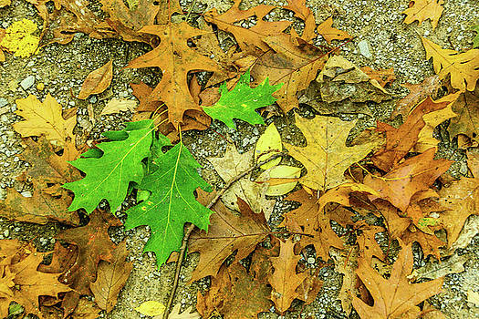 Fallen Oak by Tom Clark