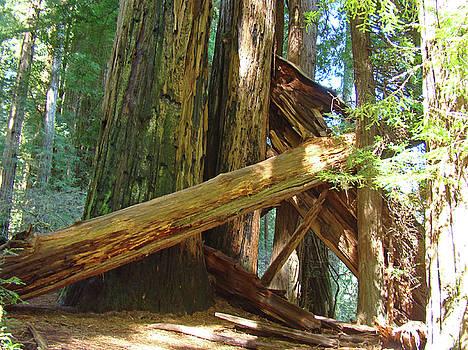 Baslee Troutman - Fallen Redwood Trees Forest