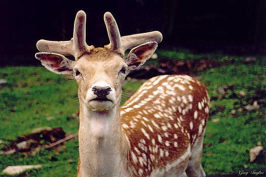 Fallow Deer Portrait by Greg Taylor