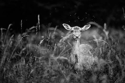 Fallow Deer by Simon Burns