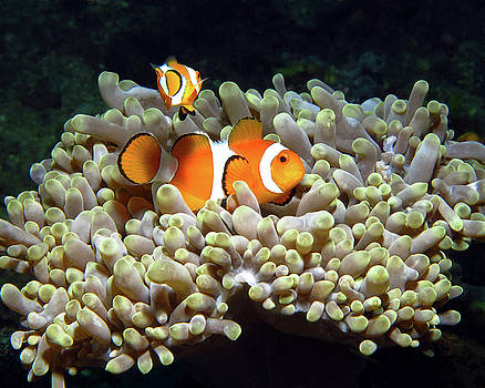 Clownfish in Anemone, Indonesia 1 by Pauline Walsh Jacobson