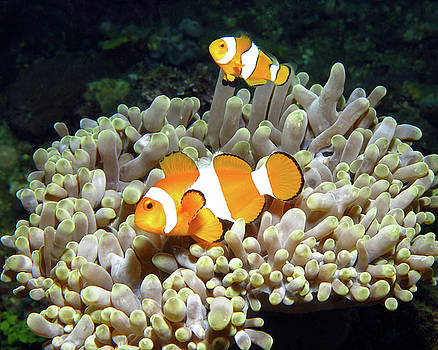 Clownfish in Anemone, Indonesia 2 by Pauline Walsh Jacobson