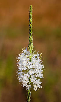 False Gaura Flowers by Steven Schwartzman