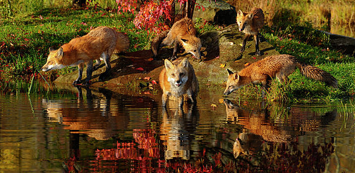 Reimar Gaertner - Family of Red Foxes drinking and wading at rivers edge in the Fa