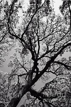 Family Tree by Charles Dobbs