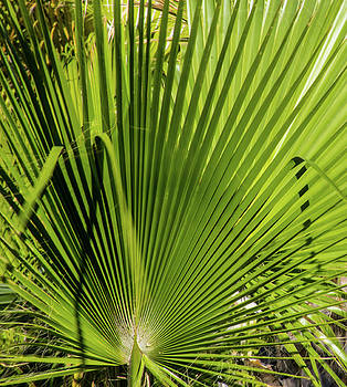 Fan Palm View 2 by James Gay
