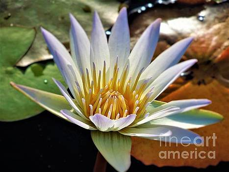 Fancy Blue Water Lily by Chad and Stacey Hall