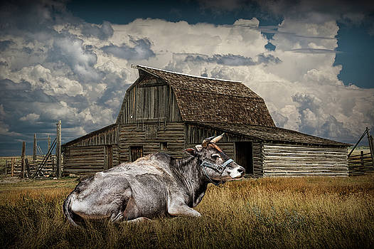 Randall Nyhof - Farm Cow laying in the Grass