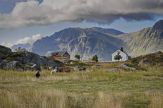 Farm houses and sheep on Lofoten by Intensivelight