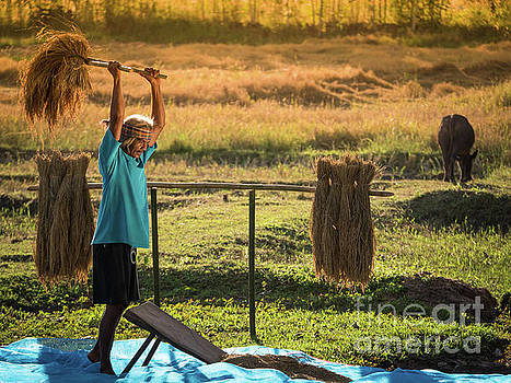Farmers rice grain threshing during harvest time. by Tosporn Preede